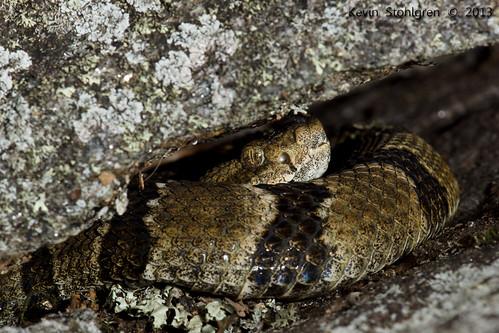 Crotalus horridus   A juvenile timber rattlesnake. Macon ...