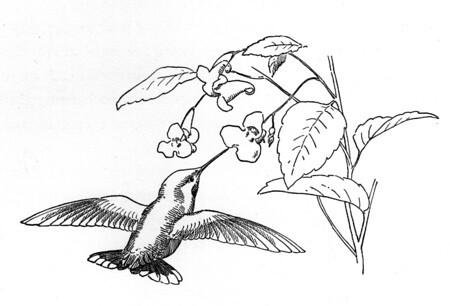 colibri-oliendo-las-flores-dibujos-para-colorear | Rafael Medina ...
