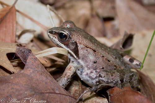 Rana sylvatica (Wood Frog)