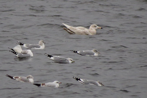 Glaucous Gull Larus hyberboreus Tophill Low NR February 2017