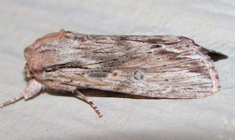 Spodoptera albula_5605