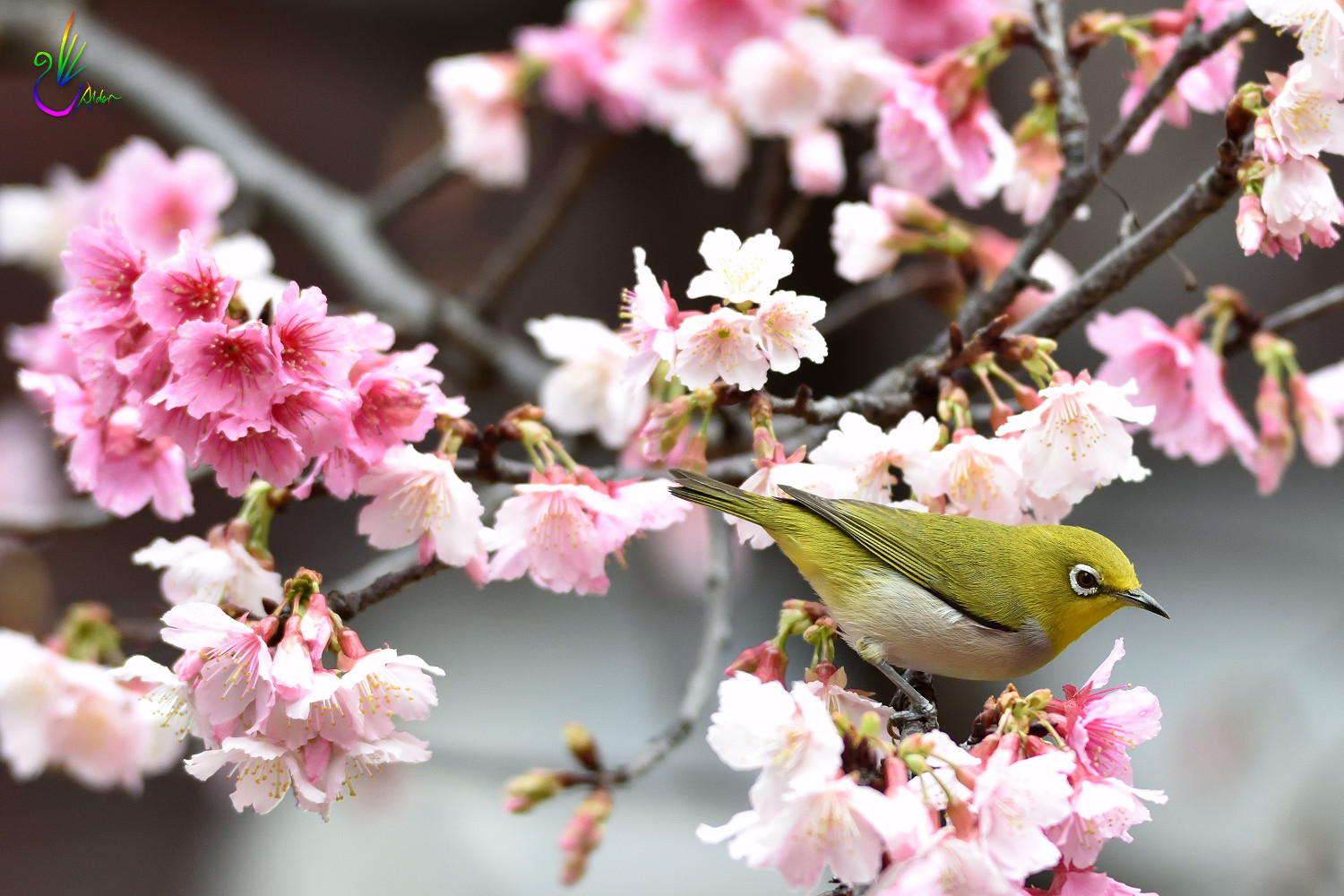 Sakura_White-eye_0913