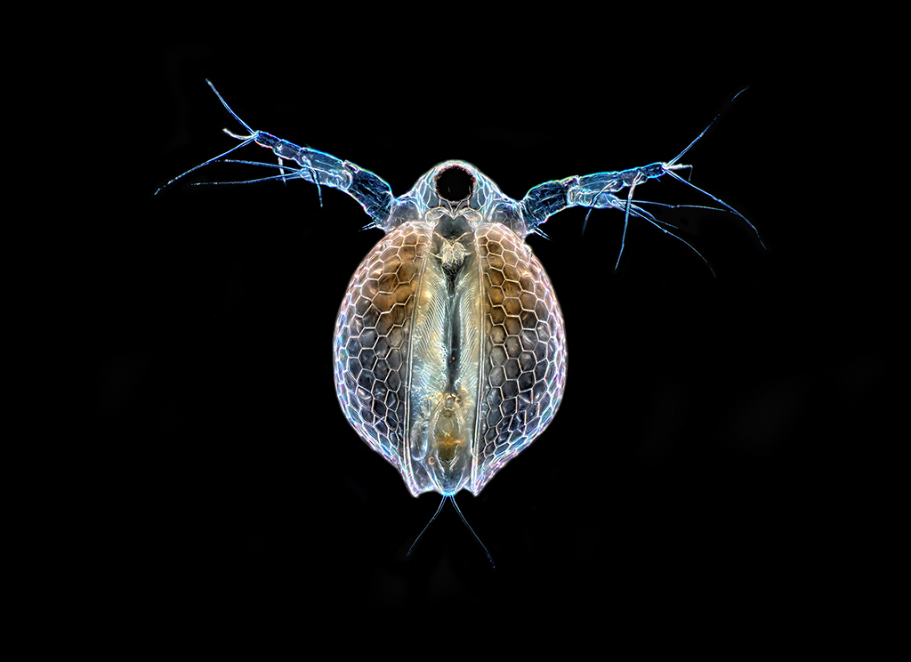 Water Flea Ceriodaphnia Ventral View Nikon Te300 Plan Flickr