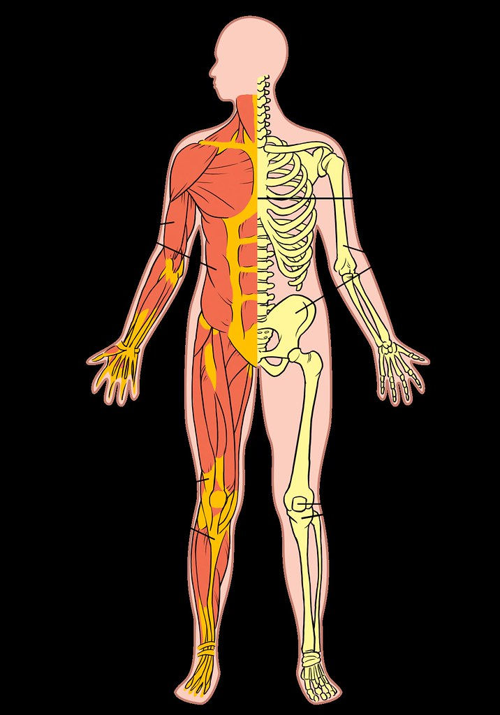 Musculoskeletal system | Illustration used in Gr 7-9 Natural… | Flickr