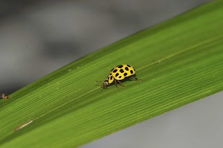 22 Spot Ladybird | by markhows