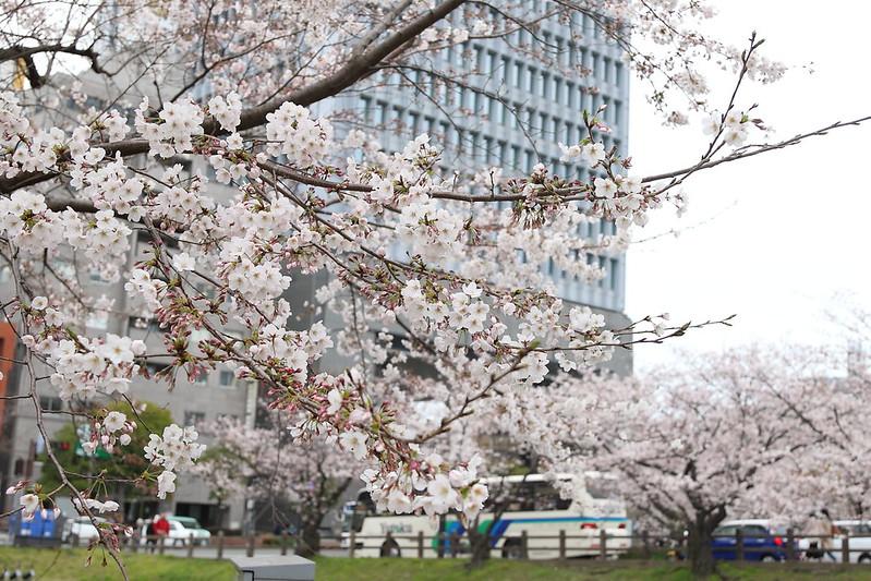 福岡市の街と桜