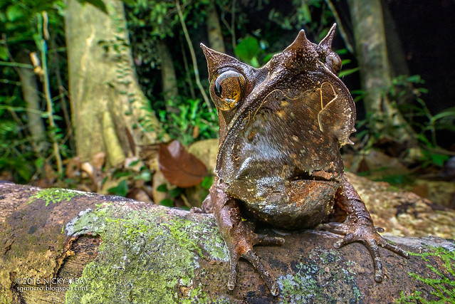 Malayan horned frog (Megophrys nasuta) - DSC_6119