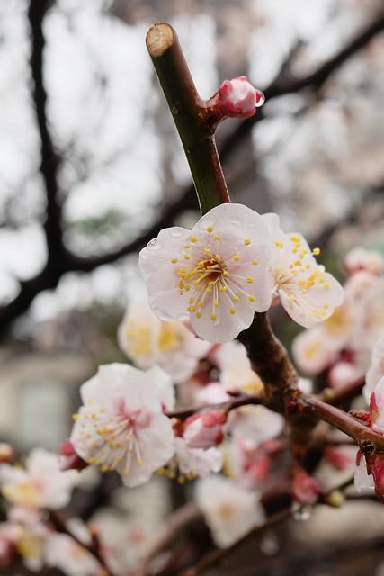 ume Japanese apricot 05