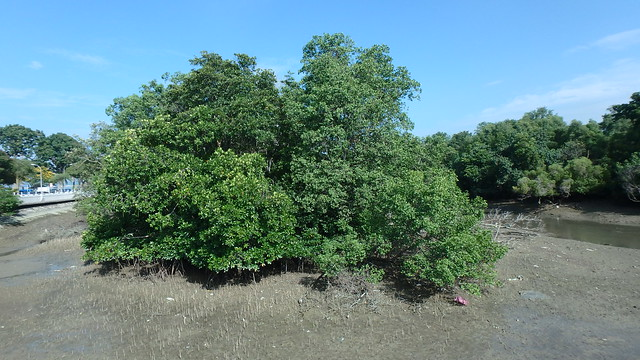 Changi Creek mangroves