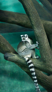 Ring Tailed Lemur | by alexlown