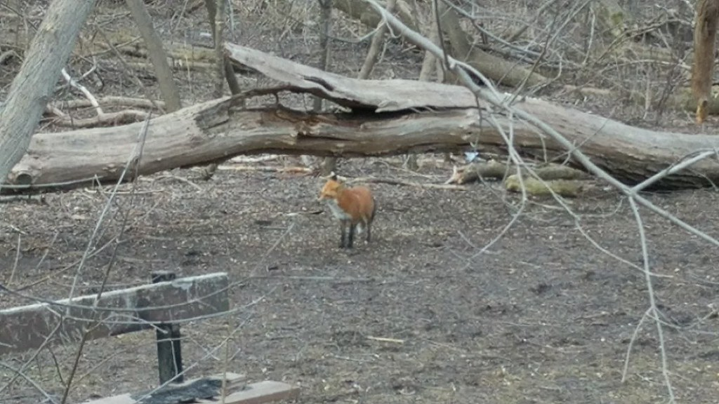 A fox in the park