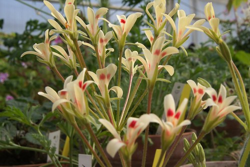 Pelargonium nervifolium