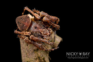 Orb Web Spider (Gibbaranea sp.) - DSC_3813