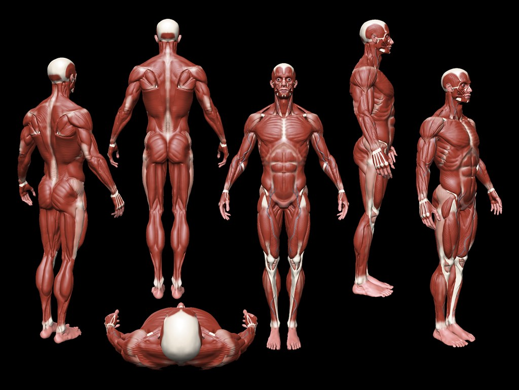 Artists Anatomy Reference | Anatomical figure from multiple … | Flickr