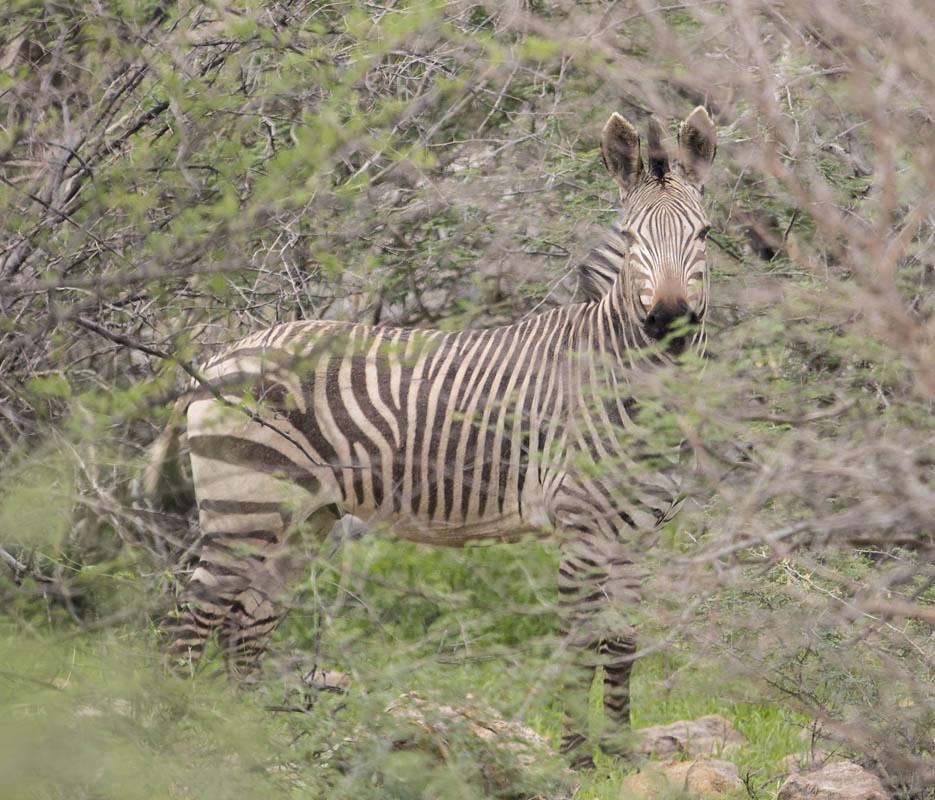 Hartman's Mountain Zebra  Erongo