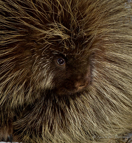 Porcupines - Caviidae