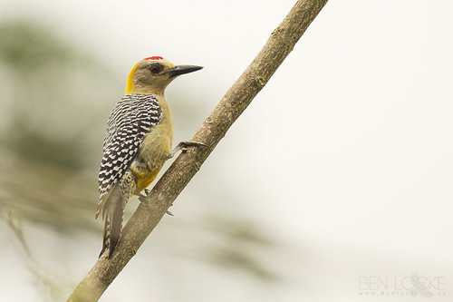 Hoffmann's Woodpecker | by Ben Locke.
