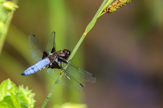 Broad bodied chaser (male) | by Eiona R.