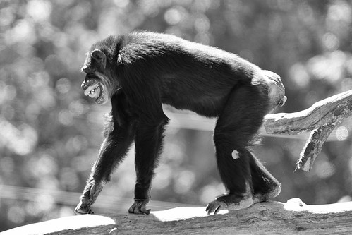 Chimp Baring Teeth | by Eric Kilby
