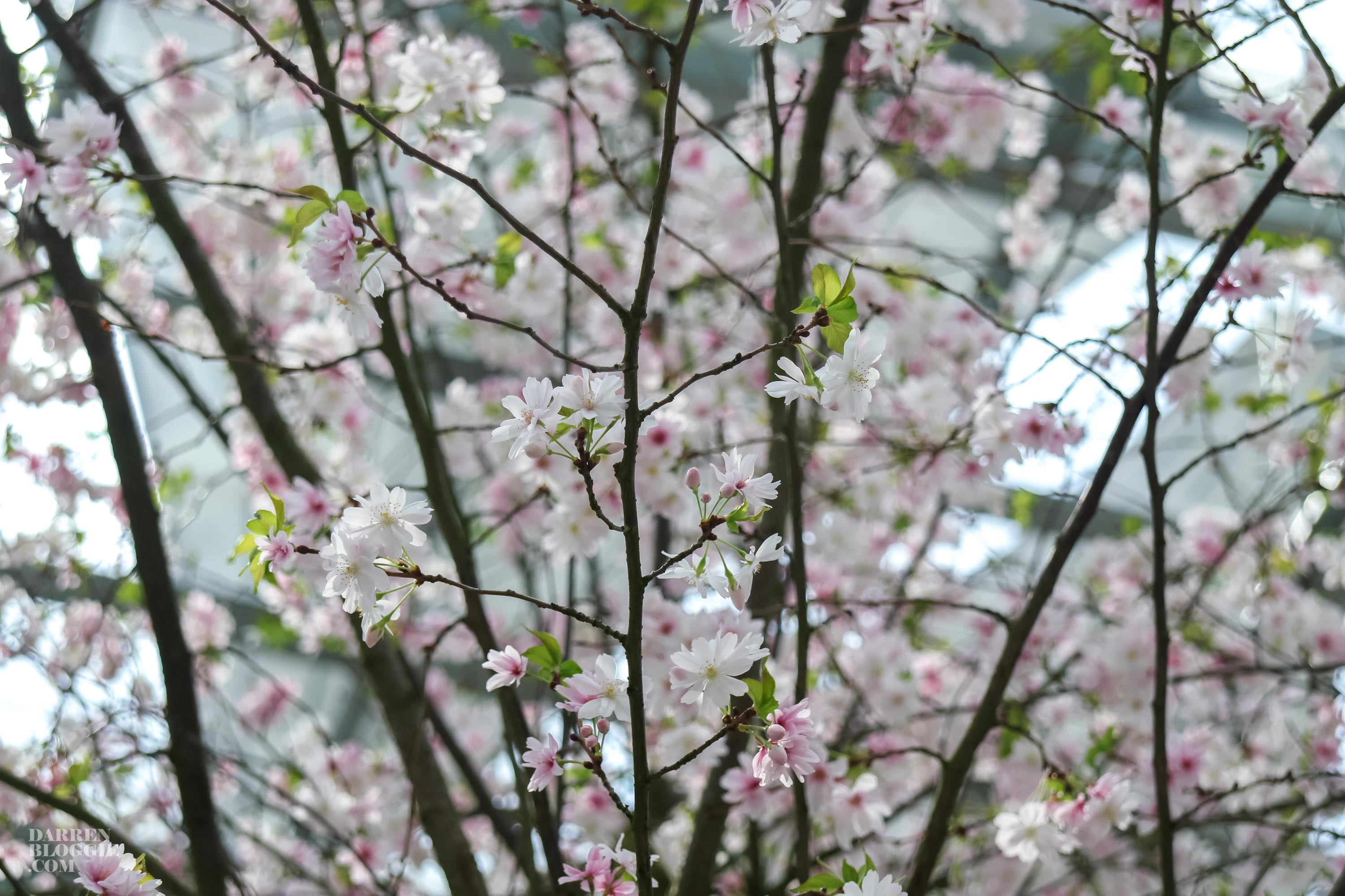 blossom-bliss-cherry-blossom-at-gardens-by-the-bay-darrenbloggie-4