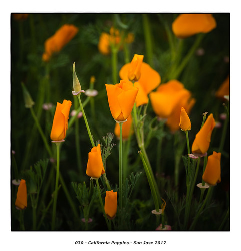 California Poppies | by Godfrey DiGiorgi