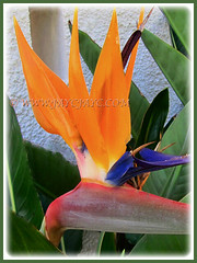 Strelitzia reginae's [Crane Flower/Plant, Bird of Paradise, Bird of Paradise flower/plant, Crane-leaved Strelitzia] captivating flower, 14 Aug 2014
