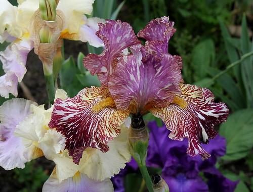 Iris broken color 9121533981_ae47e46ee5