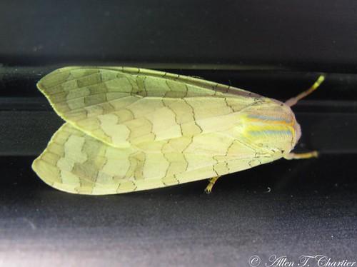 Halysidota tessellaris (Banded Tussock Moth)