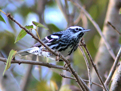 Black-and-White Warbler 2-20170309