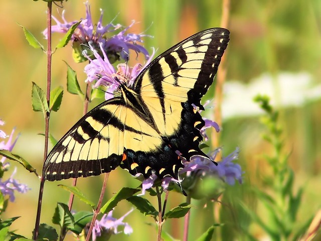 Eastern Tiger Swallowtail 20130824