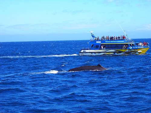 Kaikoura. Whale Watching trip. Enormous Humpback Whales. | by denisbin