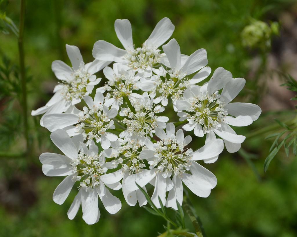 White flower clusters orlaya grandiflora apiaceae flickr white flower clusters orlaya grandiflora apiaceae by monceau mightylinksfo