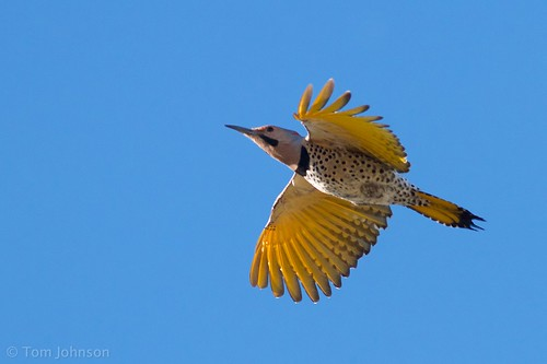 """Yellow-shafted"" Northern Flicker - Arizona 