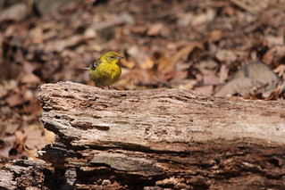 Pine Warbler Pair - Garret Mountain | by Birding In New Jersey