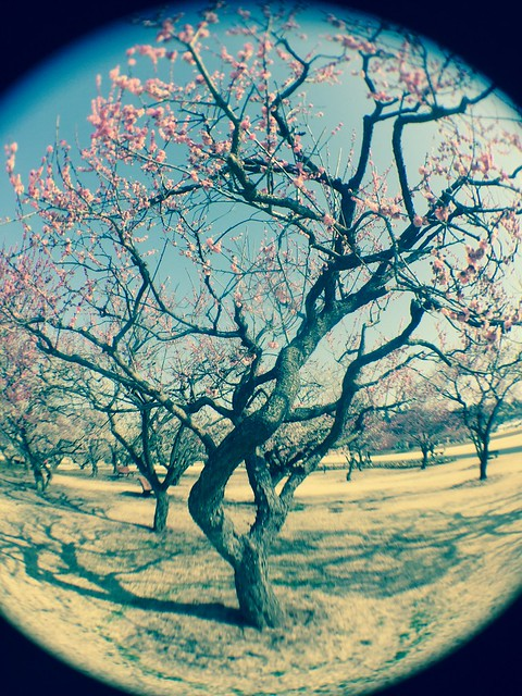 iphone photo 915: Japanese aplicot orchard. Mito (Japan), 05 Mar 2017 (fisheye)