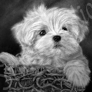 Maltese Puppy Graphite On Paper 38x33cm Graphite Penci