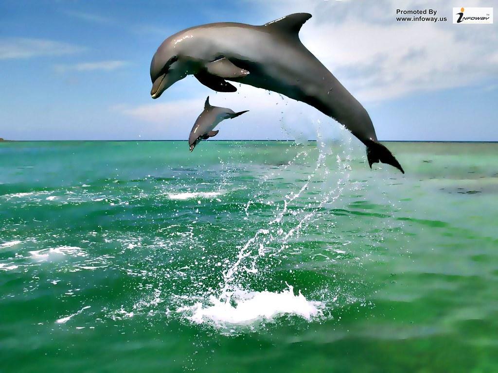 The Best Top Desktop Dolphin Wallpapers Hd Dolphins Wallpaper
