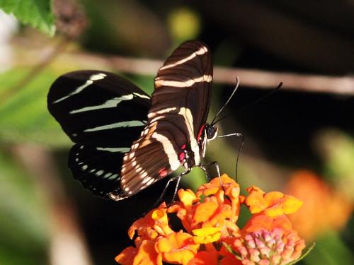 Zebra heliconian underside 2-20140204