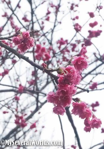 2017 Yangmingshan Flower Festival-03249