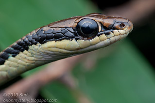 Painted Bronzeback Snake (Dendrelaphis pictus) with ticks IMG_2459 copy | by Kurt (OrionHerpAdventure.com)