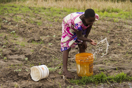 Splashing water on crops in Bagamoyo, Tanzania. Photo by Samuel Stacey, 2013. | by WorldFish
