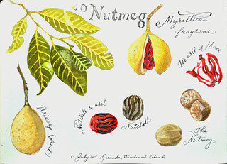 Nutmeg | by Smallest Forest