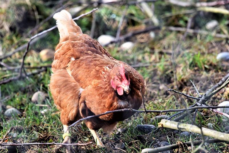 Chickens 07.03 (1)