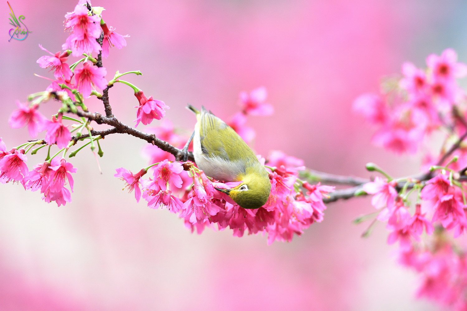 Sakura_White-eye_5937