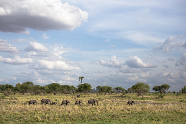 The Elephants of Tarangire