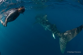Swimming with Whale Sharks | by Deetrak