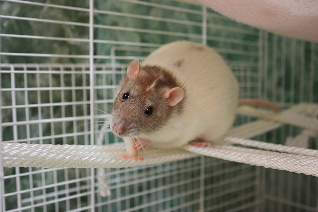 Image result for rat climbing rope
