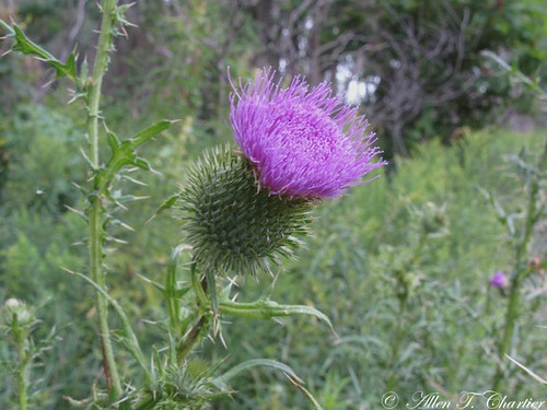 Cirsium discolor (Pasture Thistle)