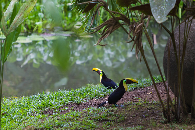 Toucans in CR