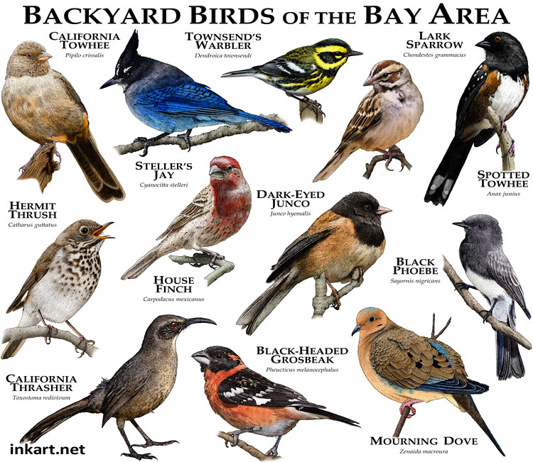 ... Bay Area Backyard Birds | by Roger D Hall - Bay Area Backyard Birds Some Of The Common Species Of Bird… Flickr